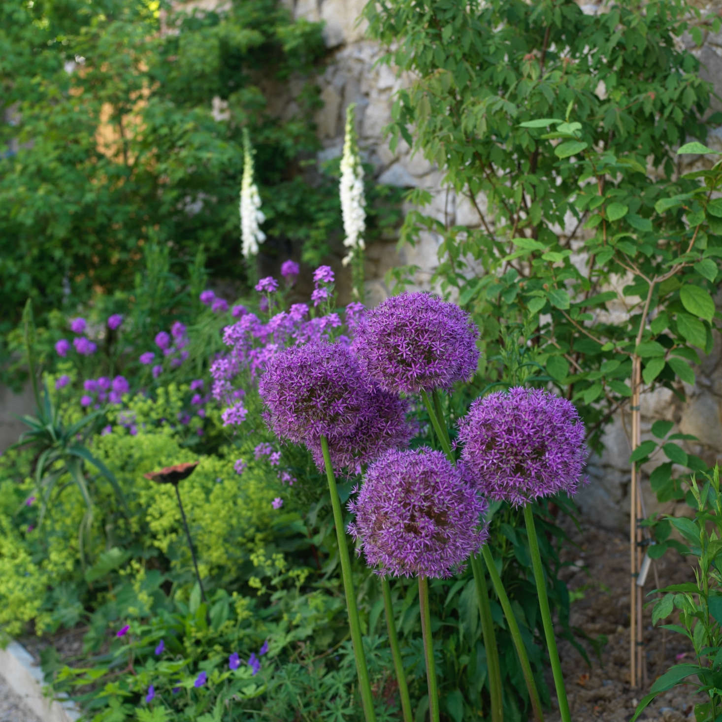 Purple drumstick alliums (Alliumsphaerocephalon) bloom in clusters on either side of the path. See more growing tips in Alliums: A Field Guide to Planting, Care & Design.