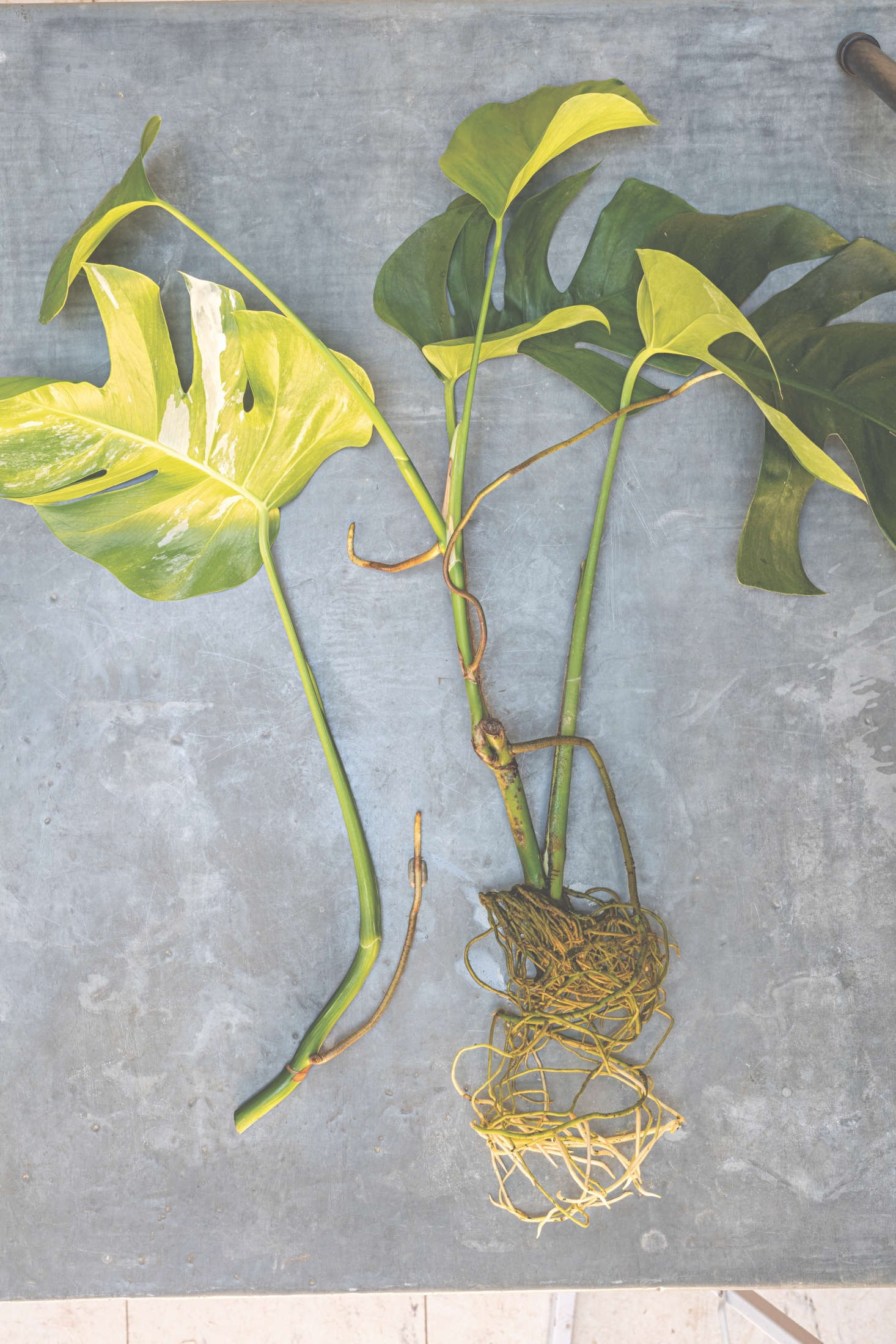 To make more monstera plants, find a branch with a short aerial root growing from it. Cut it above a node on the mother plant and put the cutting into a vase of clean water. When the roots are from 3 to 5 centimeters long, you can pot the cutting or simply leave it in water where the roots will continue to grow. Cuttings will strike best when they are taken in the growing season.