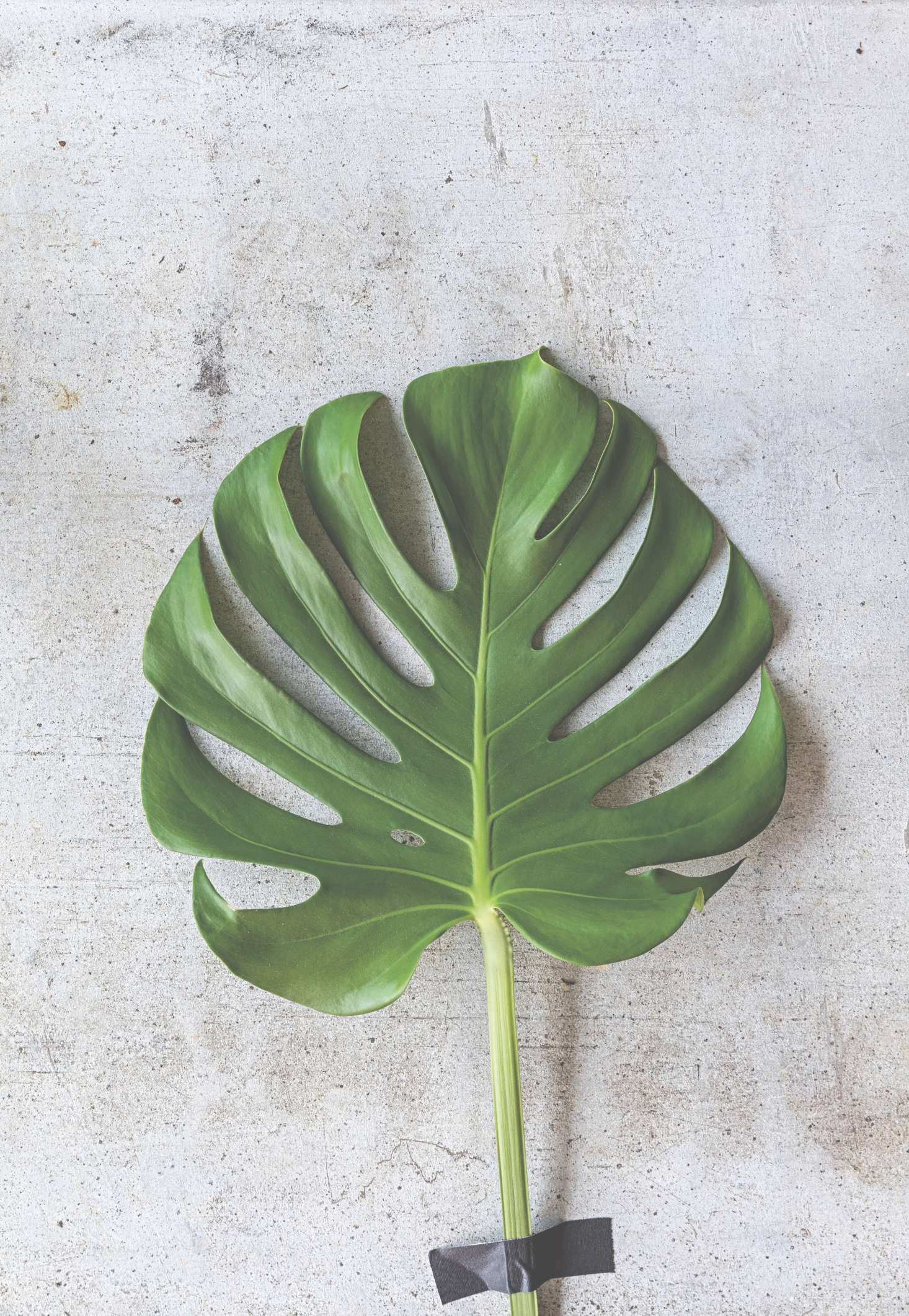 The glossy-leafed Monstera deliciosa is a vigorous plant that will grow rapidly almost anywhere; as such it needs nutrients, regular watering and lots of light.