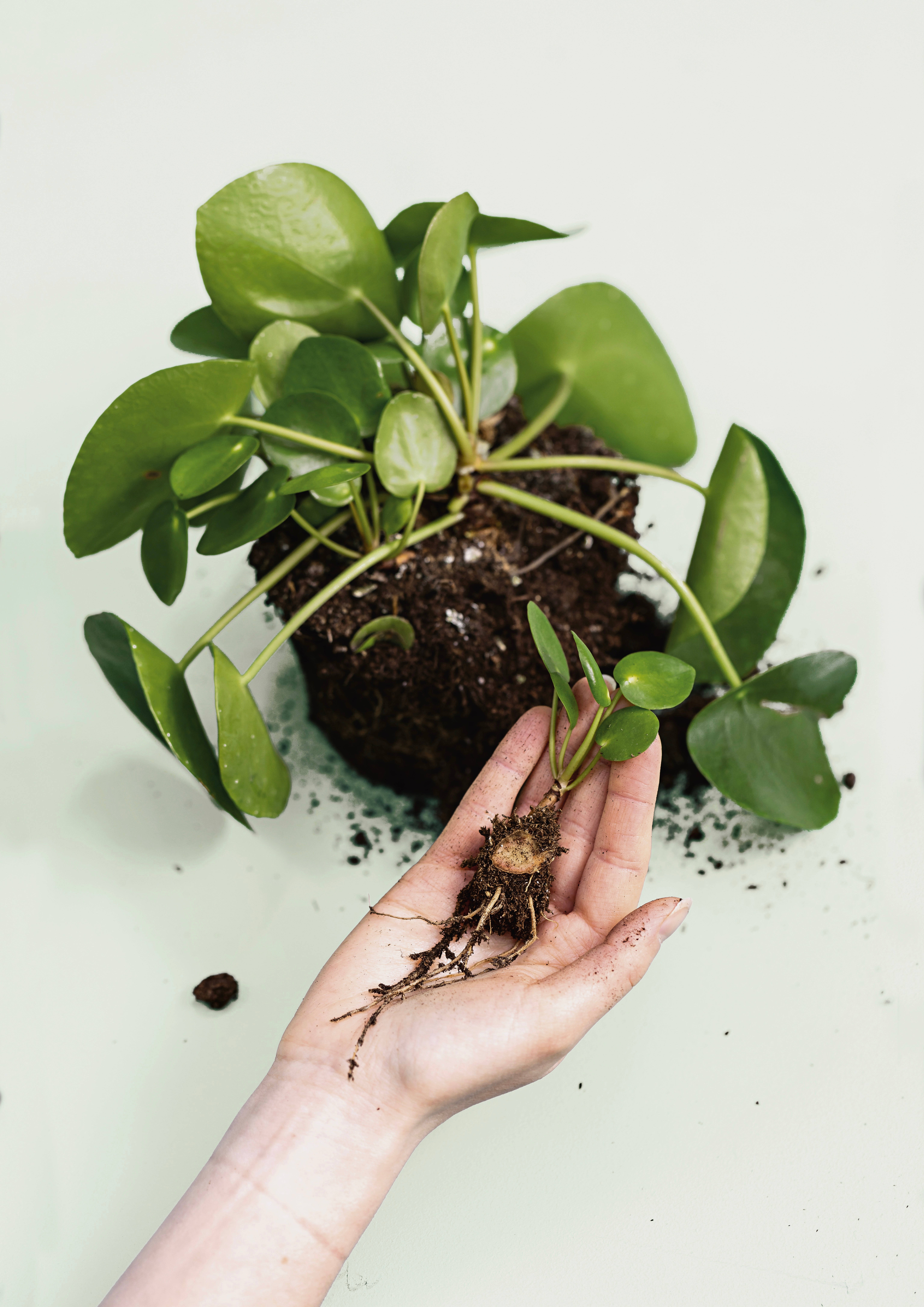 Ciepielwski also suggests making additional pilea plants too. You can simply remove smaller plantlets from the rootball of a mother plant.