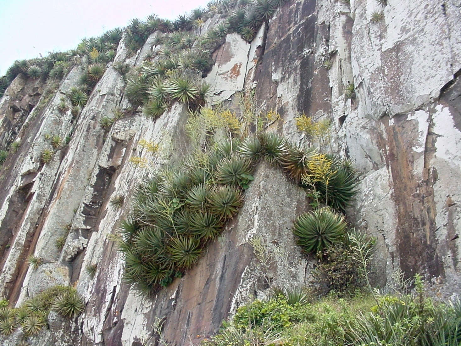 Dyckia maritima grows in rocky crevices on cliffs in Brazil. Photograph by Marcia Stefani via Flickr.
