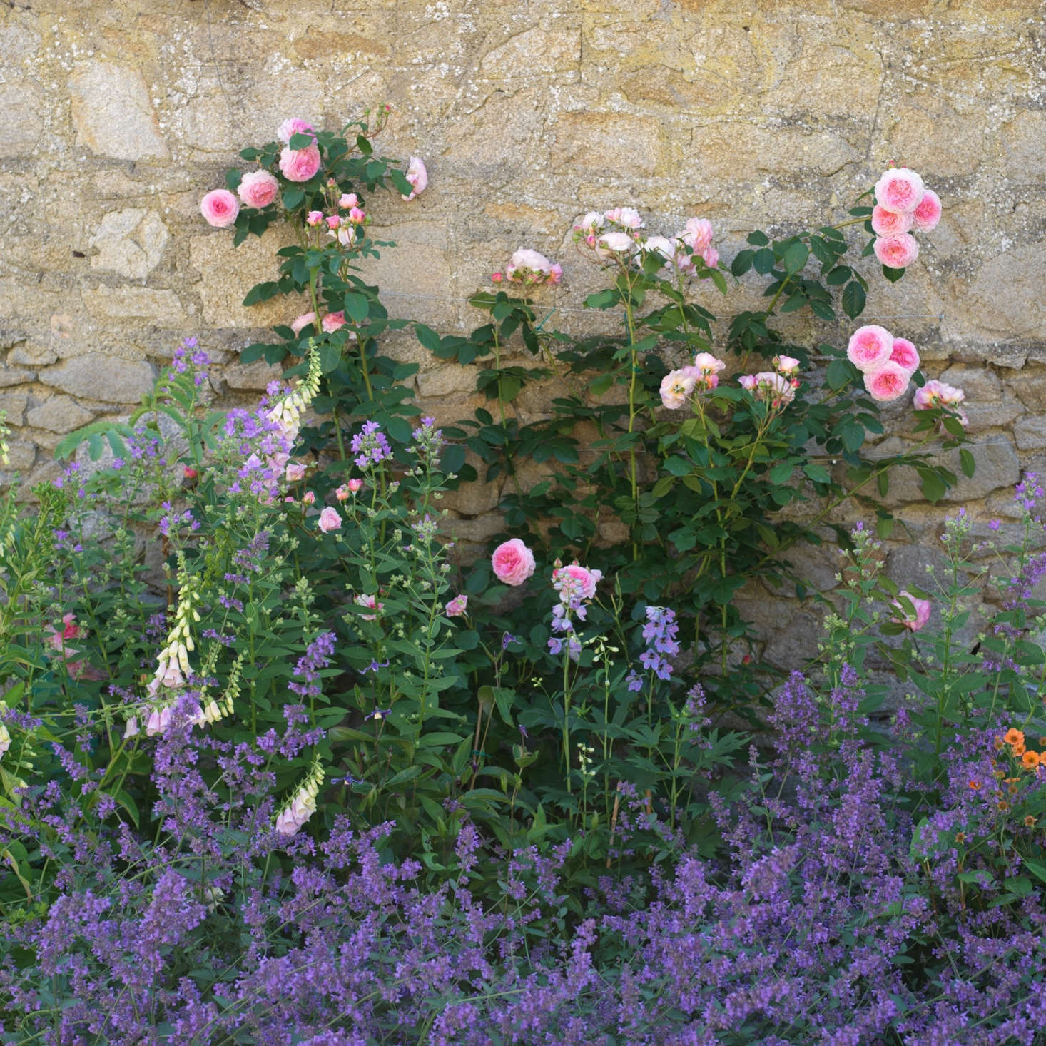 A classic color combination: pink climbing roses and purple Nepeta. See more growing tips at Roses: A Field Guide to Planting, Care & Design.