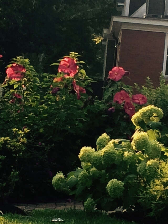 Incroyable Hibiscus And Annabelle Hydrangeas