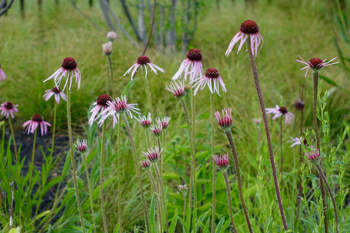 Echinacea pallida, native to North America, is a great flower to plant now for blooms all summer long. Photograph courtesy of Thomas Lynch Design, from Gardening 101: Coneflower.